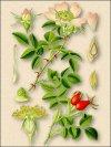 Шиповник коричный (роза коричная) Отвар шиповника